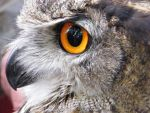 Profile of an Owl by WhirlingBlue