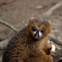 Red Bellied Lemur by Sato-photography
