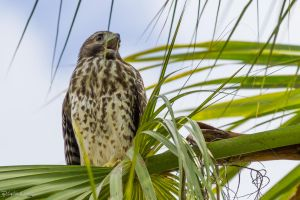 Red shouldered hawk calling by LordMajestros