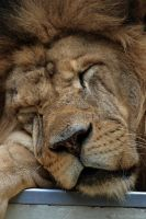 African Lion by robbobert