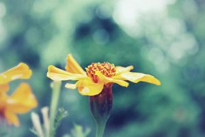 Flower by sisselPhotography