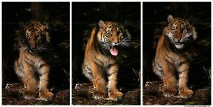 Baby Tiger Expressions by TVD-Photography
