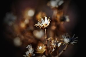 Thistle by Merlinman50