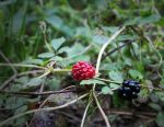 Blackberries by TheCuraga