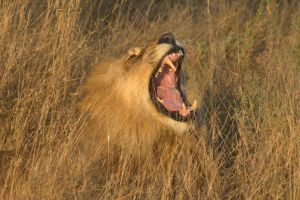 TRACKING AFRICAN LIONS 2 by lenslady
