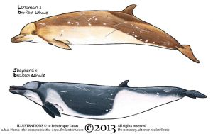 Beaked whale colouring practice by namu-the-orca