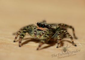 Adult Marpissa Muscosa - Female by TheFunnySpider