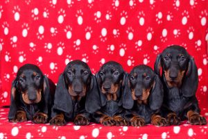 Dachshund puppies by fotomartinez
