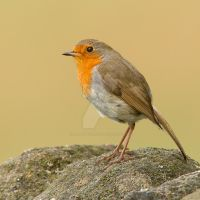 Here I am - Robin by Jamie-MacArthur