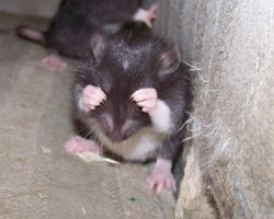 Ratty Baby by attolia2491