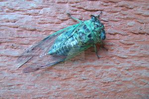 Cicada Cleaner Snap by vincent-is-mine