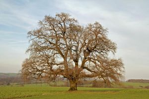 Old Oak by CD-STOCK Premium Stock by CD-STOCK