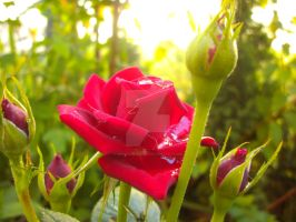 The red rose by MrsGeorgiana