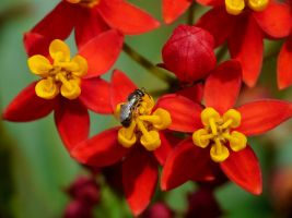 Halictidae on Asclepias by duggiehoo