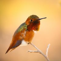 Portrait of a hummingbird by isotophoto