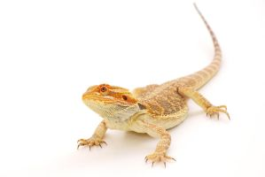 Bearded Dragon by mjphotoart