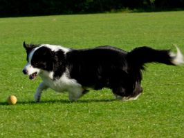 Get that ball! Border Collie at play! by davepphotographer