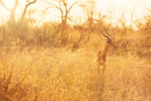 Impala - Golden Lights by Durdenyr