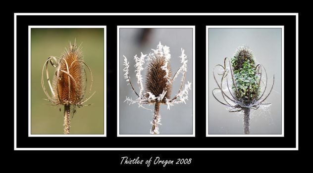 Thistles of Oregon by Sparten