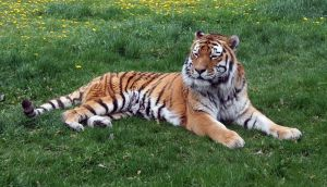Zoo Montana Tiger 65 by Falln-Stock