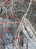 Red Winter Berries 5 by 0CrescentMoon0