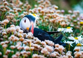 Puffin Hiding by Sagereid