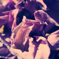 dried petals ii by divinedecay