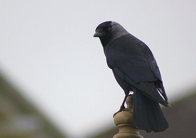 Jackdaw by S4MMY4RT