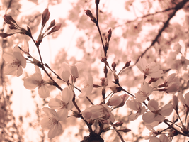 Cherry blossoms of 2012 by DarkAngelOfMuzic