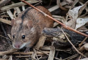 field mouse by klossone