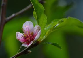 peach blossom by dreamsnthewind