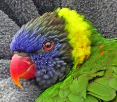 Lorikeet 2 by silverdragon76