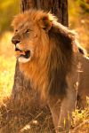 Panthera leo 3 by catman-suha