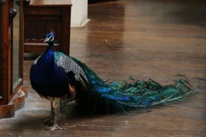 Montsalvat peacock 2 by Dewfooter