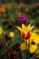 Yellow tulip by AYTACYAMAC