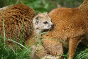 Yellow Mongoose 4 by Sabbie89