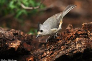 Black-crested Titmouse 1753 by robbobert