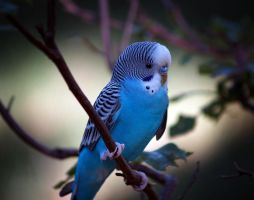 Sly, the parakeet by oldpost
