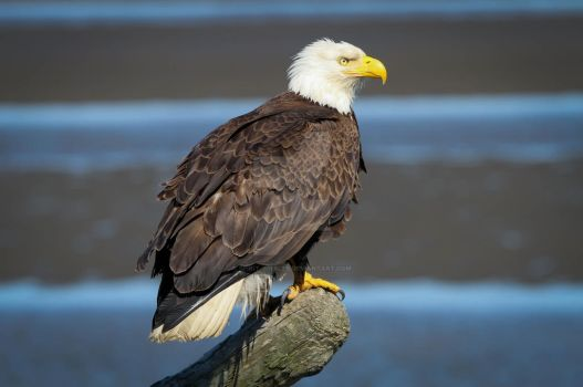 62. Bald Eagle - Haliaeetus leucocephalus by Spirit-whales