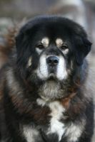 Cakra, the Tibetan Mastiff by SaNNaS