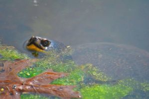Blanding's Turtle by ShelbyMelissa
