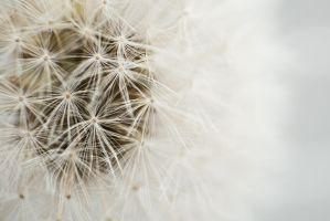 Dandelion in white by bheware