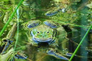 Green frogs III by rosaarvensis