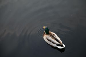 a duck. by Nadja18