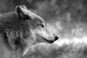 wolf face by TlCphotography730