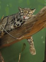 Clouded Leopard 04 by animalphotos