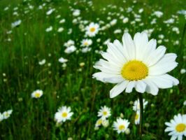 Field of Daisies by Djohns