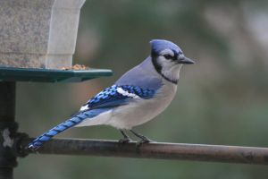 Blue Jay 3 by natureguy