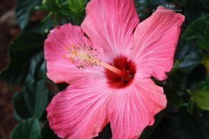 Hibiscus by theChrisScott