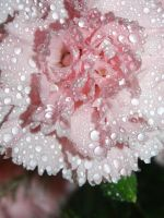 pink carnation by LucieG-Stock